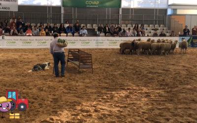 Exibición de perros de pastoreo